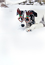 Border collie with Christmas ornament glasses in the snow - MGOF03152