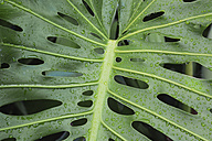 Wet leaf of Monstera deliciosa, close-up - GWF05056