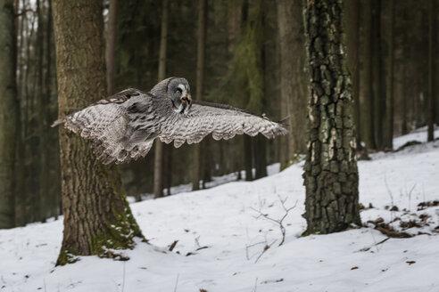 Czechia, Great grey owl, Strix nebulosa in forest - PAF01778