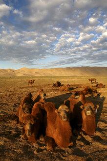 Mongolia, Gobi Gurvansaikhan National Park, Khongoryn Els, camels resting in Gobi Desert - DSGF01658