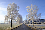 Germany, Bavaria, Sindelsdorf, birch trees covered with hoarfrost at country road - SIEF07391