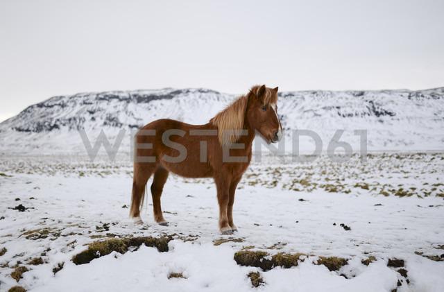 Iceland, Icelandic horse in snowy landscape - RAEF01793 - Ramon Espelt/Westend61