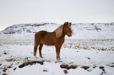 Iceland, Icelandic horse in snowy landscape - RAEF01793