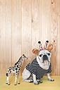 French bulldog wearing giraffe headband and pullover with giraffe figurine - RTBF00811