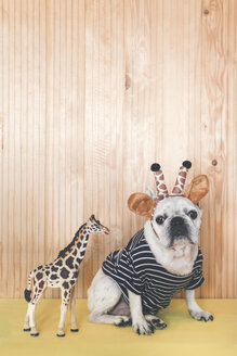 French bulldog wearing giraffe headband and pullover with giraffe figurine - RTBF00811