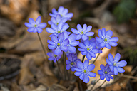 Blossoms of liverworts - SIEF07402