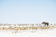 Namibia, Etosha National Park, elephant surrounded by Springboks and Oryx - GEMF01586