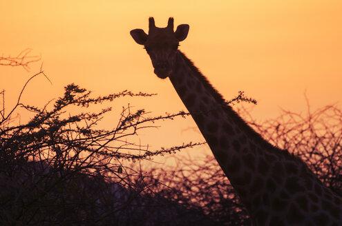 Namibia, Etosha National Park, giraffe at sunset - GEMF01589