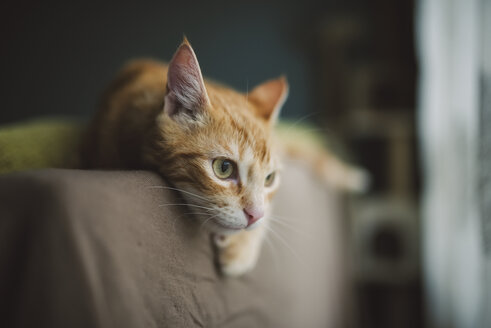 Ginger cat resting on backrest of couch - RAEF01862