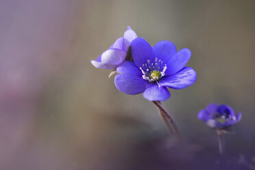 Liverworts flowers - BSTF00106
