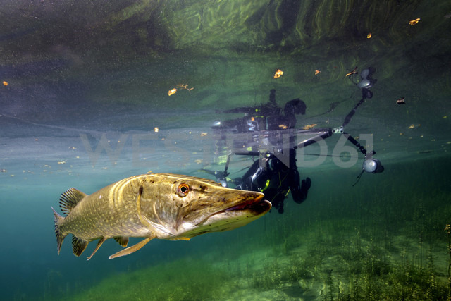 Germany, Bavaria, diver and northern pike in Echinger Weiher - GNF01386
