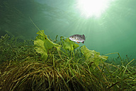 Austria, Upper Austria, European perch in Attersee - GNF01389
