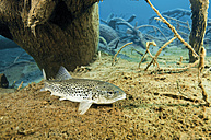 Austria, Tyrol, brown trout in Blindsee - GNF01395
