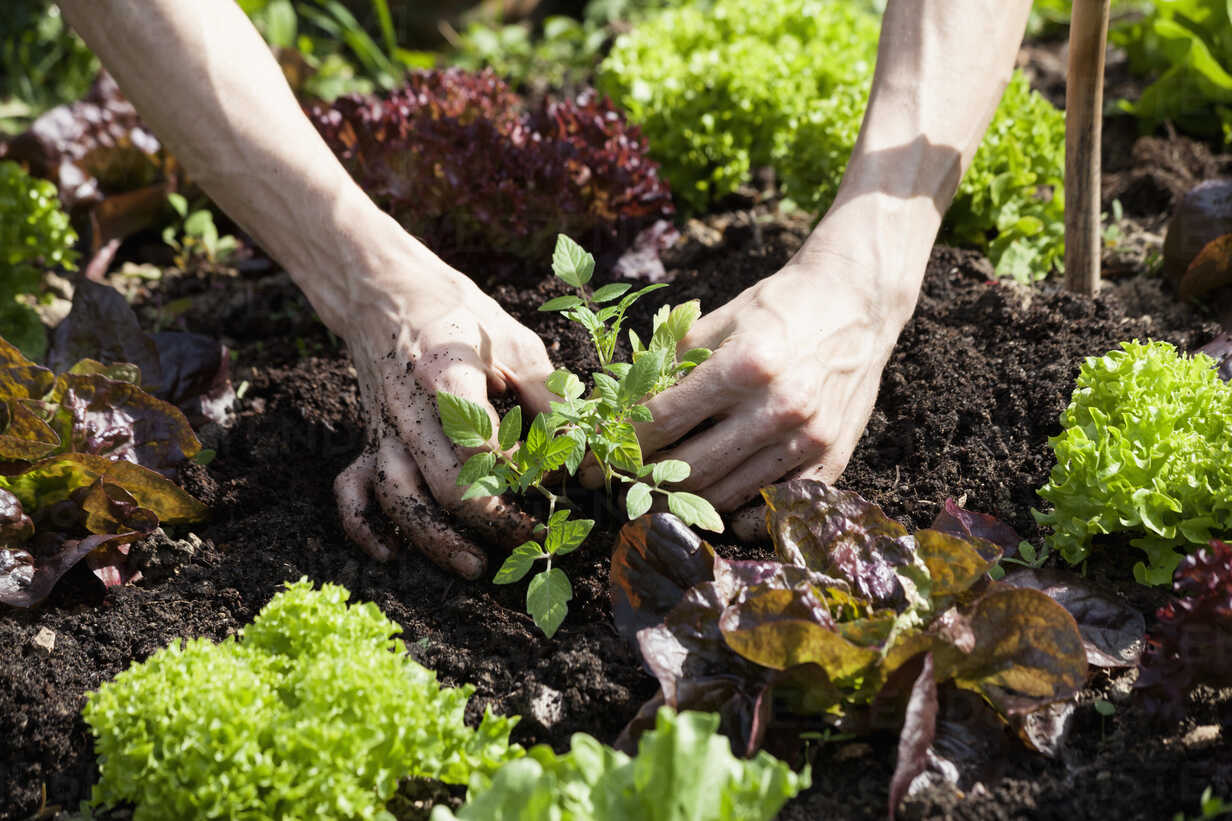Man's hand planting tomato plant in a bed - NDF00646 - Nabiha Dahhan/Westend61