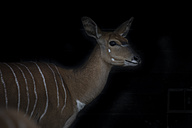 Portrait of female Nyala in front of black background - MMAF00105