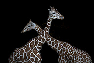 Two reticulated giraffes in front of black background - MMAF00108