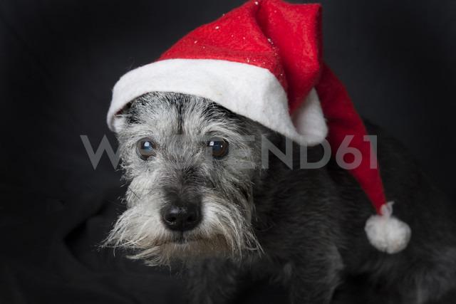 Portrait of Schnauzer wearing Christmas cap - SKCF00301