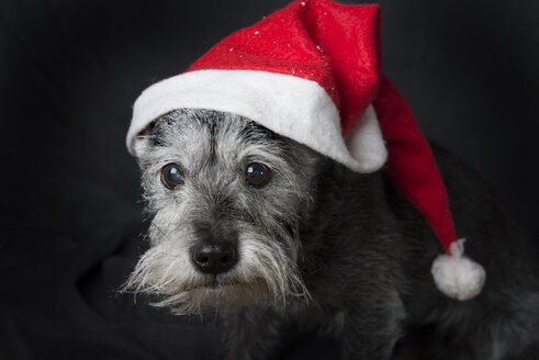 Portrait of Schnauzer wearing Christmas cap - SKCF00301