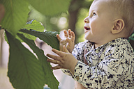 Baby touching large leaf of chestnut tree - MFF03531