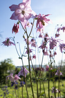 Columbine flowers, close up - NDF00651
