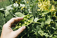 Woman's hand picking peas, close-up - GEMF01659