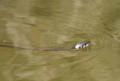 Swimming Slithering Grass Snake - ZCF00515