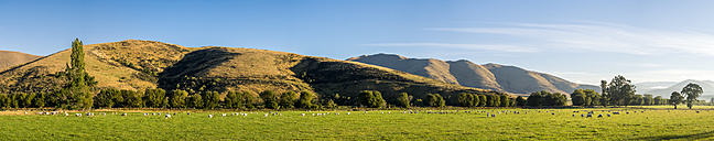 New Zealand, South Island, Southern Scenic Route, Fiordland National Park, flock of sheep - STSF01232