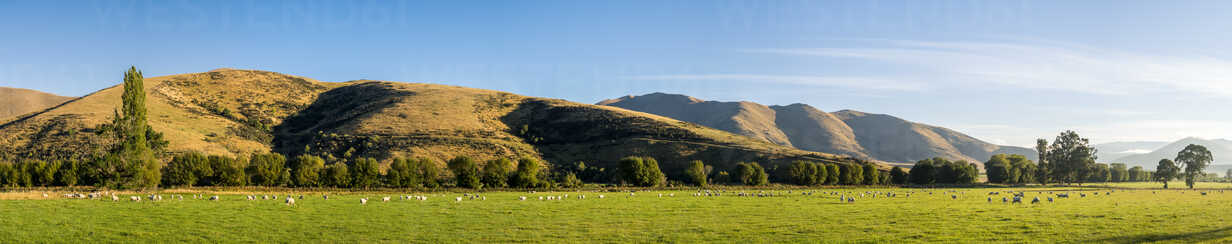 New Zealand, South Island, Southern Scenic Route, Fiordland National Park, flock of sheep - STSF01232 - Stefan Schurr/Westend61