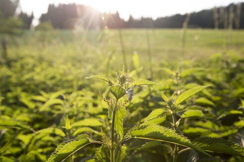 Stinging nettle at backlight - AIF00435