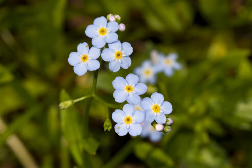 Wood forget-me-not - ZCF00520