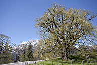 Germany, Bavaria, Ramsau, large leaved linden Hindenburglinde - ZCF00529