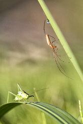 Grasshopper Isophya pyrenea and European garden spider - DSGF01673