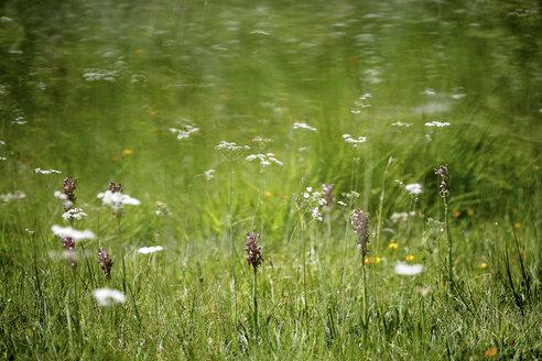 Spain, Castilla Leon, Zamora Province, Lago de Sanabria Nature Reserve, flower field - DSGF01682