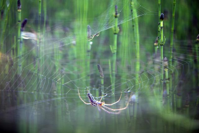 European garden spider - DSGF01685