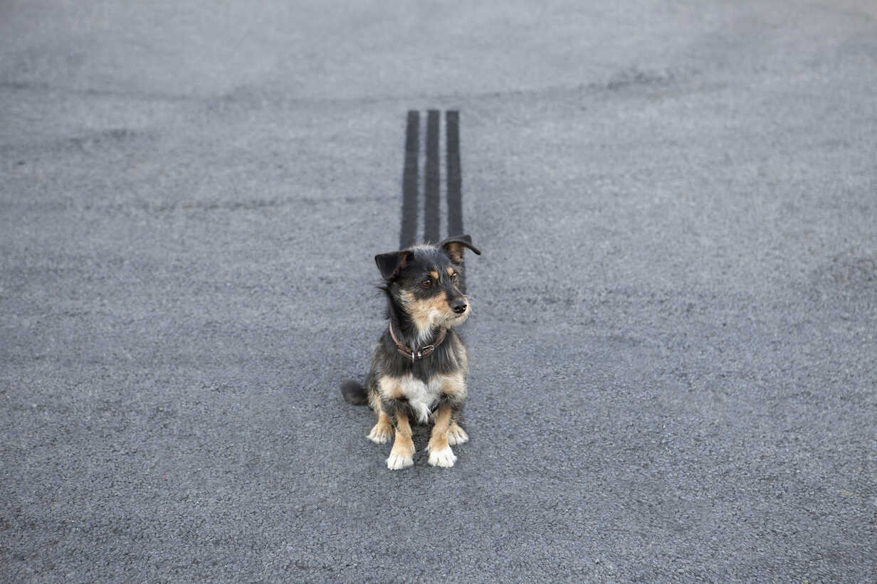 Skidmark behind dog sitting on the road - PSTF00055 - Petra Stockhausen/Westend61