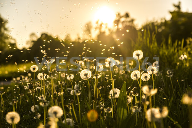 Germany, Bavaria, Summer meadow in evening light - SARF03341