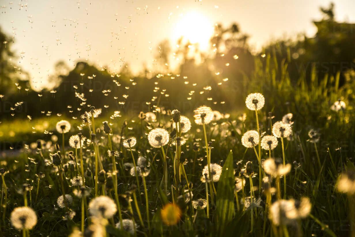 Germany, Bavaria, Summer meadow in evening light - SARF03341 - Sandra Roesch/Westend61