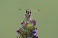 Small skipper on flower - MJOF01378