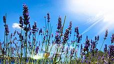 Lavender - MAEF12368