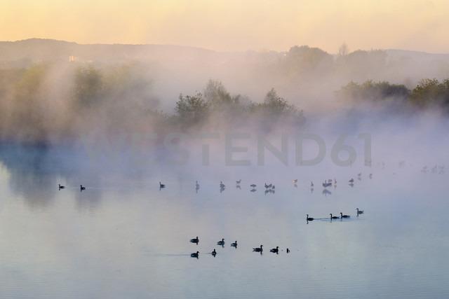 Germany, Franconian Lake District, grey gooses on Altmuehlsee at morning mist - SIEF07455 - Martin Siepmann/Westend61