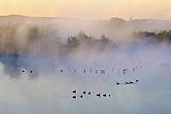 Germany, Franconian Lake District, grey gooses on Altmuehlsee at morning mist - SIEF07455