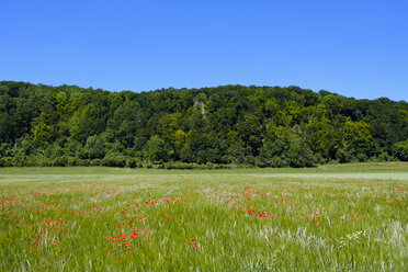Germany, Dollstein, Altmühl Valley Nature Park, poppies growing in a wheat field - SIEF07458