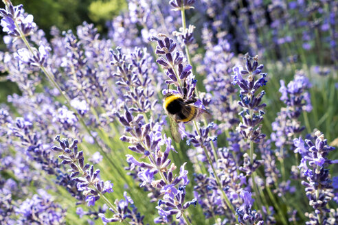 Bumblebee at lavender blossom - NDF00661