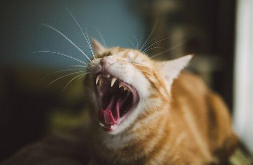 Yawning cat - RAEF01899