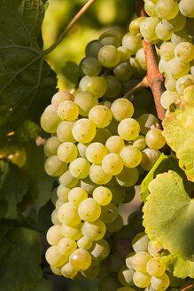 White grapes hanging from vine at evening light - SJF00203