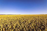 UK, Scotland, field of wheat - SMAF00760