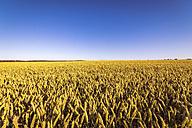 UK, Scotland, field of wheat - SMAF00760
