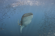 Indonesia, Papua, Cenderawasih Bay, Whale shark and school of fish - TOVF00089