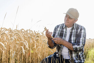 Senior farmer in a field examining ears - UUF11186