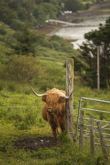 UK, Scotland, Isle of Skye, longhorn cattle on pasture - FCF01242